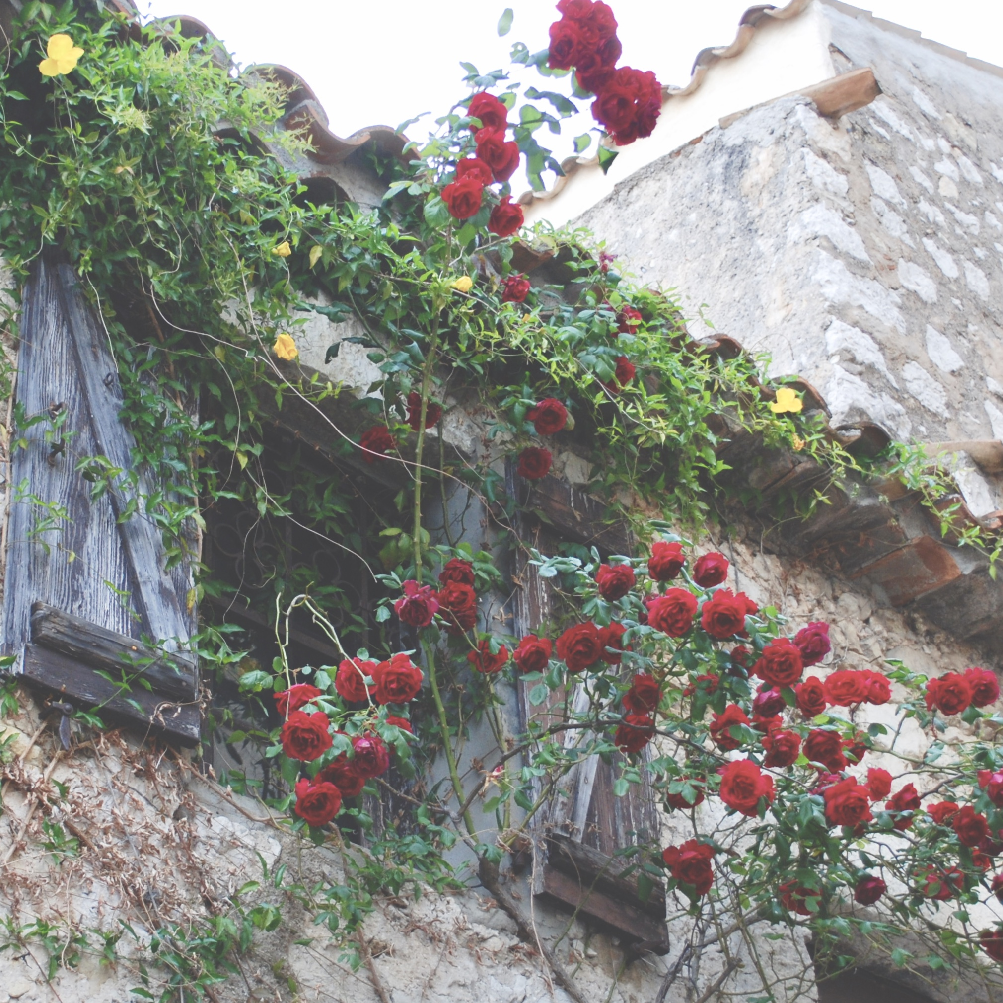Eze Village Roses